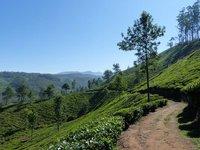 Tea plantation, Munnar