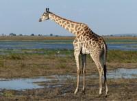 Giraffe on the alert, Chobe National Park
