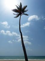 Palm tree on Al Haffa beach