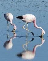 Flamingoes at the Salar de Atacama