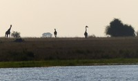 Giraffes at sunset, Chobe National Park