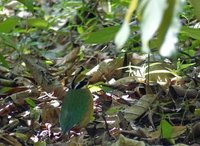 Indian Pitta bird, Periyar