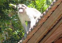 Langur monkey at Cardamom County Hotel