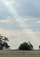 Landscape with giraffe, Chobe National Park