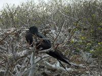 6444753-Great_Frigatebird_Isla_Genovesa.jpg