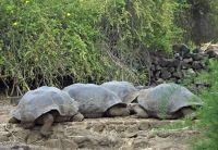 Male tortoises at the Charles Darwin Research Centre - Puerto Ayora, Santa Cruz
