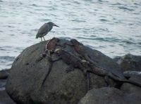 6445106-Lava_Heron_Espanola_Galapagos_Islands.jpg
