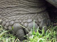 6445285-Giant_tortoise_foot_Galapagos_Islands.jpg