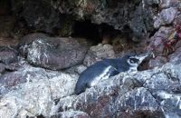 Galápagos penguin - Isla San Salvador