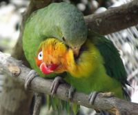 6468964-Lovebirds_Quito.jpg