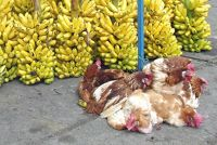 6508726-Fresh_very_chickens_Laguna_Quilotoa.jpg
