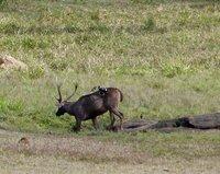 Sambar deer, Periyar Lake