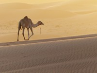 Camel at sunset, Wahiba Sands