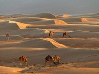 Camels at sunset, Wahiba Sands