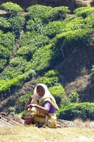 Tea picker, Munnar