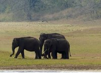 Elephants, Periyar Lake