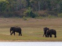 Elephants, Periyar Lake