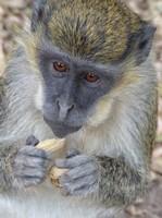 Green Vervet Monkey, Bijilo