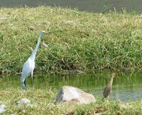 7530111-Egret_and_heron_Jaipur.jpg
