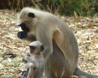 7553659-Langurs_Udaipur.jpg
