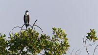 Osprey on mangrove tree - Same