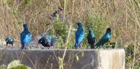 Glossy blue and purple starlings, Fathala