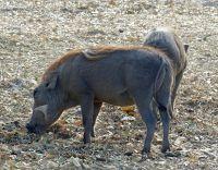 Warthogs, Fathala