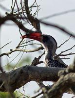 Hornbill, Fathala