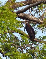 Palm nut vulture, Fathala