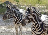 Plains Zebra, Fathala
