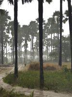 Yayeme palm forest near Fimela