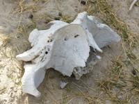 Hippo vertebra on Sausage Island, Okavango Delta