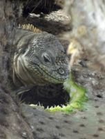 851261176444295-Land_iguana_..os_Islands.jpg