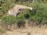 Giraffe grazing, Chobe National Park