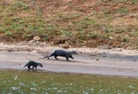 Otters,  Periyar Lake
