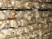 At a mushroom production facility near Chongjin