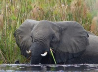 Female elephant in the Okavango Delta