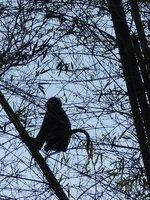 Langur monkey in bamboo, Periyar
