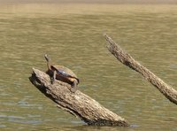 Turtle, Periyar Lake