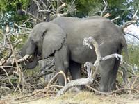 Bull elephant, Sausage Island, Okavango Delta