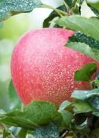 Growing on Kosan state apple farm near Wonsan