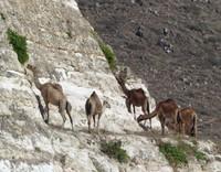 Camels near Fazayah Beach
