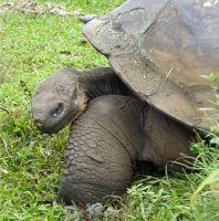 Tortoise in the Santa Cruz Highlands - Isla Santa Cruz