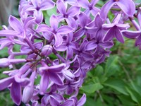Lilac in our garden