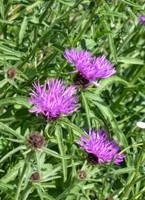 Wildflowers, Runnymede
