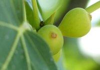 Figs, Arpino