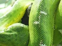 Emerald tree boa, Jersey Zoo