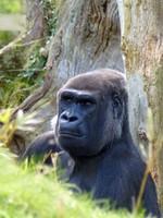Silverback gorilla, Jersey Zoo