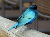 Greater Blue-eared Starling, Xugana Island Lodge