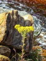 Flower by Gunnerside Ghyll
